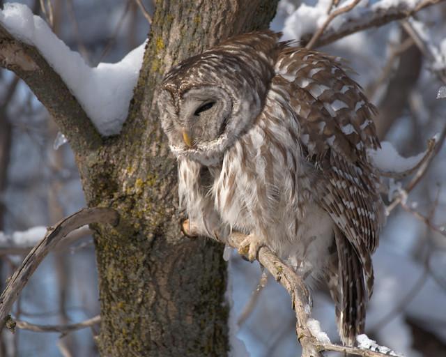----- Chouette rayée ------------ Barred owl ------------- Cárabo norteamericano