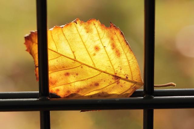 Série les feuilles prisonnnières 012 : l'or ailé. / Series sheets prisoners 012 : The winged gold