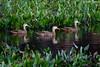 Mottled Ducks (Anas fulvigula)  - Florida by Kim Toews Photography