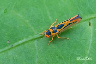 Leafhopper (Soosiulus sp.) - DSC_4232