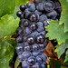 Wine Grapes, Pinot Noir by Rod Heywood