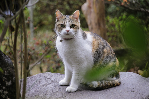 IMG_0747 Calico Japanese cat 縞三毛猫