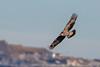 Aigle royal - Aquila chrysaetos (Plateau de Beille, Ariège) 15 novembre 2015 by ÇhяḯṧtÖρнε