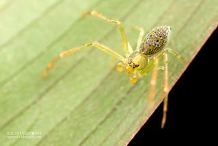 Crab spider (Thomisidae) - DSC_3632