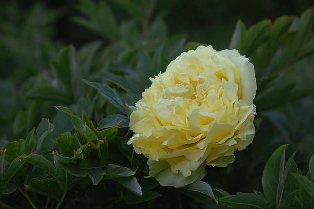 RUS49496(Yellow-Peony)