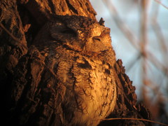 Eastern Screech-Owl, LaSalle Park, Burlington, ON, 11/28/2015