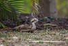Bush Stone-curlew by R. Francis