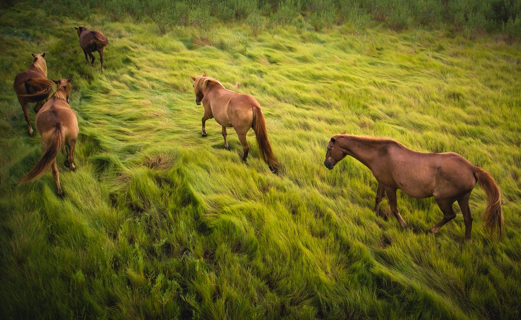 marsh grass mares
