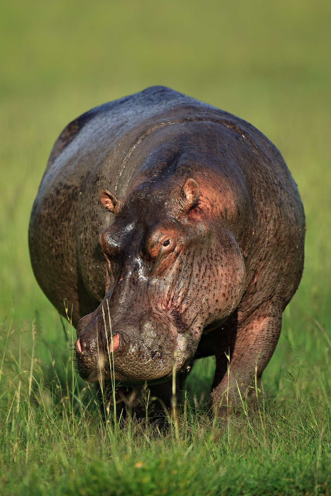 Hippo on the Bank