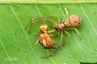Crab spider (Thomisidae) - DSC_4557