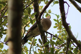 White-tipped dove (Leptotila verreauxi) | by scotch egg
