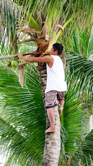 Asian man climbing up to coconut tree