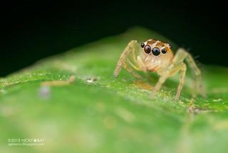 Jumping spider (Salticidae) - ESC_0100