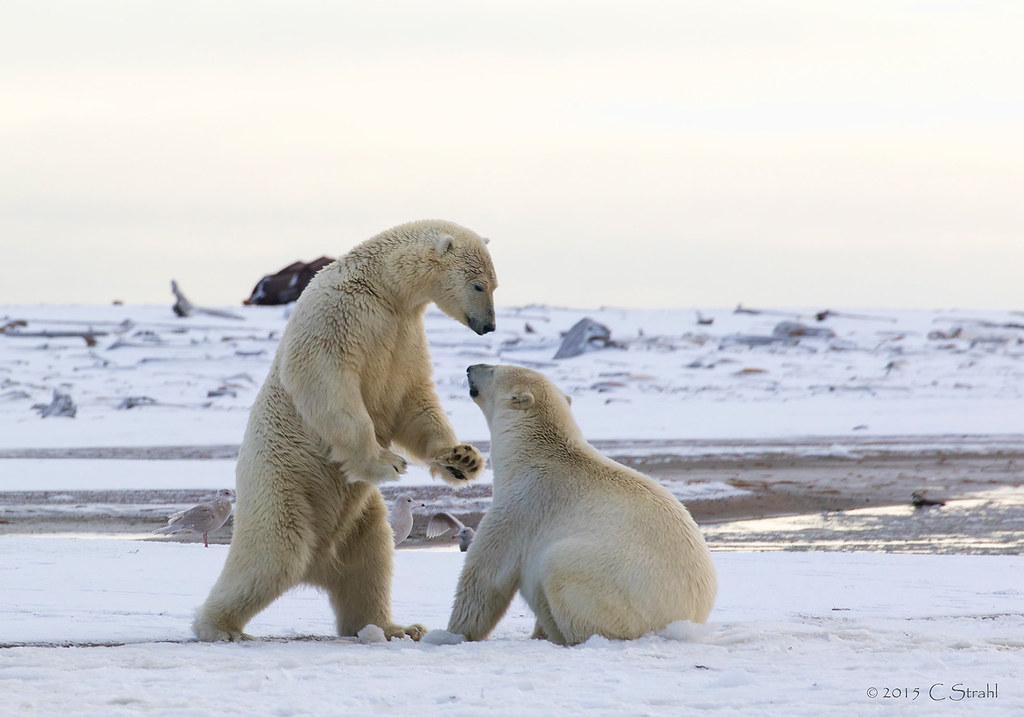 PolarBearSiblings-Playing (Explored)