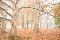 Trees in fog AM