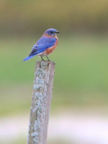 Eastern Bluebird 2-20161005