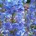 Penstemon cyananthus 2012.5.14.1