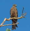 Swamp Harrier (Circus approximans)(immature)(provisional ID).01 by Geoff Whalan