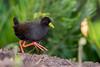 Black Crake (Amaurornis flavirostra) by Brendon White
