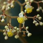 Begonia luxurians  ベゴニア・ルクスリアンス