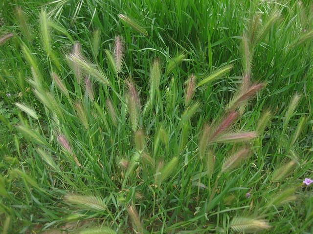 IMG_4164 Ellwood Mesa trail grasses