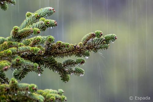 Abeto bajo la lluvia | by espada100
