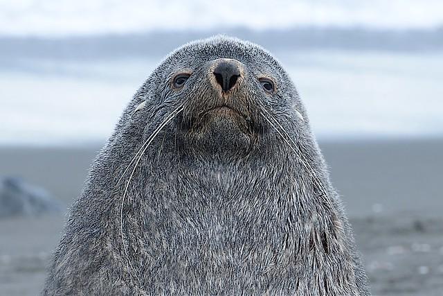 Fur Seal Looking Down His Nose At Me