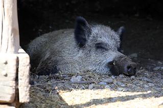 Wildschwein / wild boar (Sus scrofa scrofa)   by M. Oertle