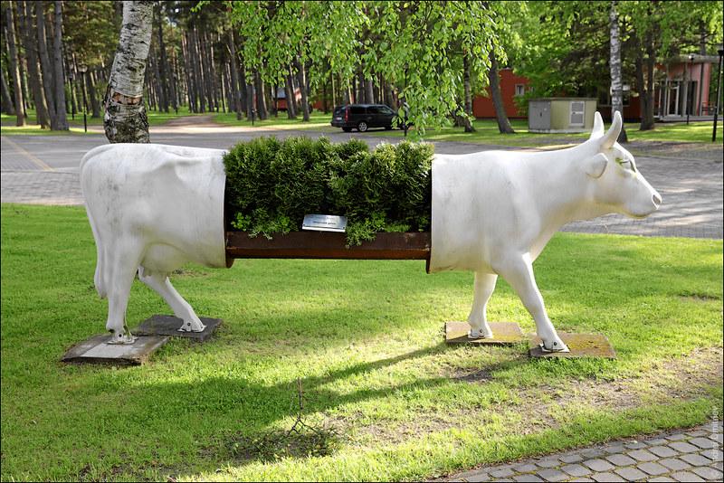Вечнозеленая корова, Вентспилс, Латвия