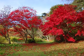 Red Acers  [Explore] | by Philip McErlean