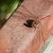Punasyyskorento (Sympetrum vulgatum)
