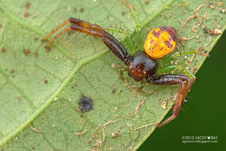 Crab spider (Thomisidae) - DSC_7747