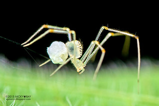 Comb-footed spider (cf. Meotipa sp.) - DSC_8591