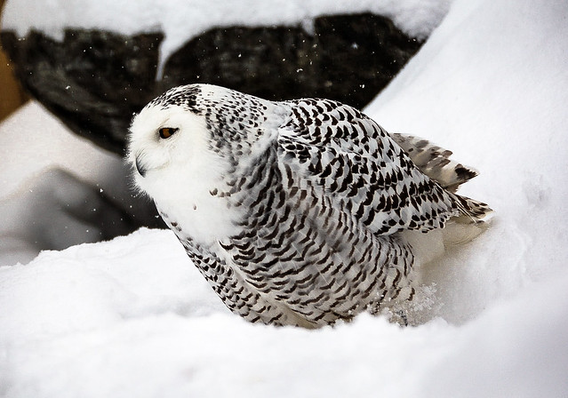 Harfang des neiges (1 sur 1)