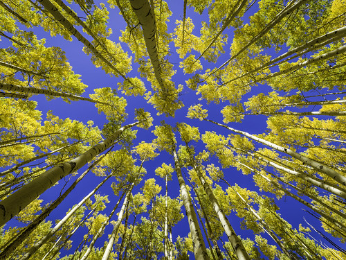 newmexico santafe october hasselblad nm 2016 santafecounty mabrycampbell h5d50c blue autumn trees usa tree fall up yellow vertical forest landscape outdoors photography photo colorful image unitedstatesofamerica fineart alpine photograph aspens 100 aspen landscpae fineartphotography tallbuildings santafenationalforest commercialphotography f45 80mm hc80 ¹⁄₈₀₀sec 20161003campbellb0000403 october32016 explore flickrexplore explored fav50 fav20 fav30 fav10 fav100 fav200 fav300 fav40 fav60 fav90 fav80 fav70 fav400