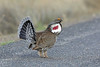 Dusky Grouse, Black Canyon of the Gunnison, Colorado by Terathopius