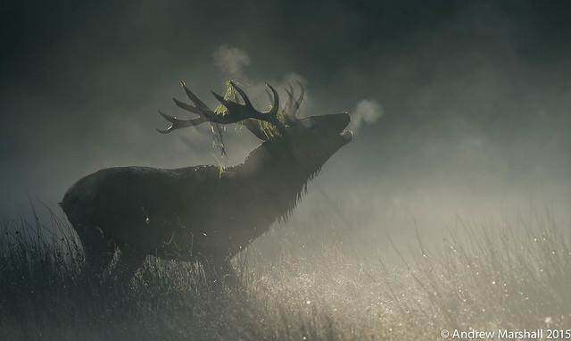 Red deer stag, misty morning.