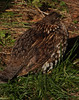 Spruce Grouse -- falcipennis canadensis by podicep