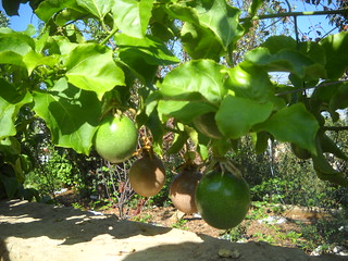 Passion Fruit Ripe & Green Large Fruit and qty a Oct 12, 2015 | by toutberryfarms