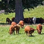 Cows of Hawkesville, Ontario