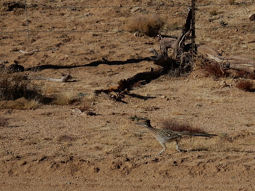 Mojave National Preserve - roadrunner