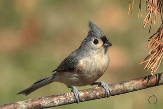 Back home Titmouse | by MedicineMan4040
