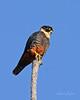 Bat Falcon (Falco rufigularis) by Frank Shufelt