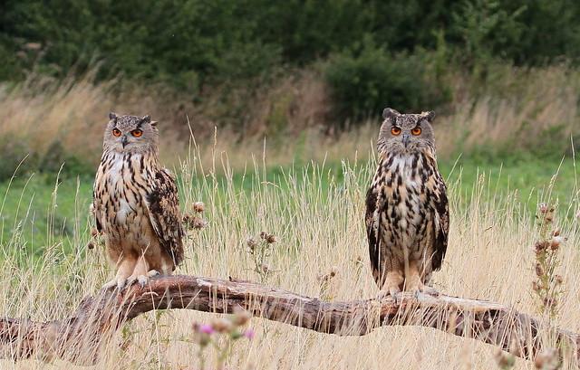 Euro eagle owls - Double trouble. (Explored)
