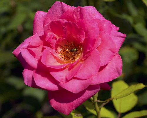 flower rose muncie minnetrista
