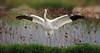 白鹤 Siberian White Crane by somchai@2008