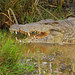 Nile Crocodile - Photo (c) GRID-Arendal, some rights reserved (CC BY-NC-SA)