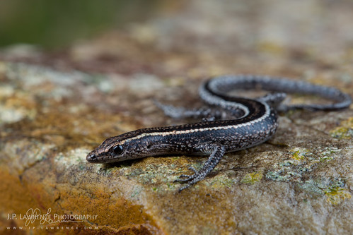 Elegant Snake-Eyed Skink | by J.P. Lawrence Photography