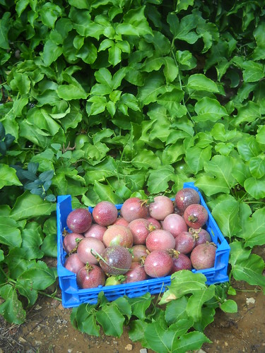 Passion fruit large quantity picking cc Oct 26, 2015   by toutberryfarms