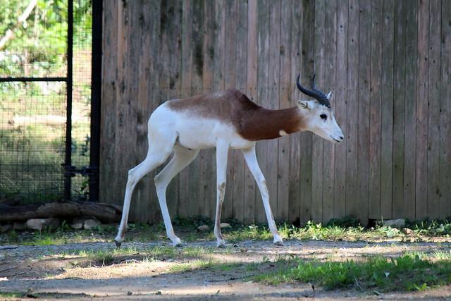 National Zoo - Dama gazelle